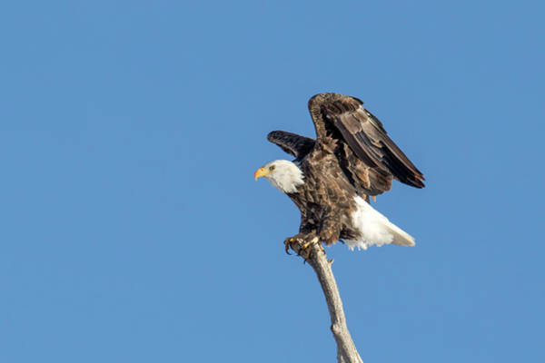 Photograph - Bald Eagle by Boyce Fitzgerald