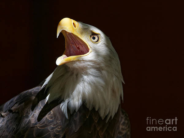 Photograph - Bald Eagle - Call Of The Wild by Sue Harper