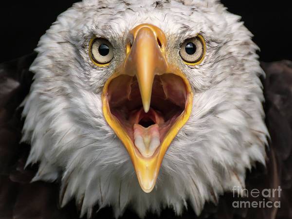 Photograph - Bald Eagle Calling by Eyeshine Photography