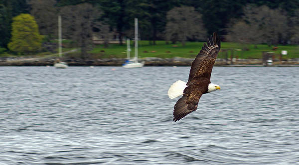Photograph - Bald Eagle by Cameron Wood