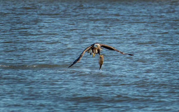 Photograph - Bald Eagle Catching A Large Fish by Patrick Wolf