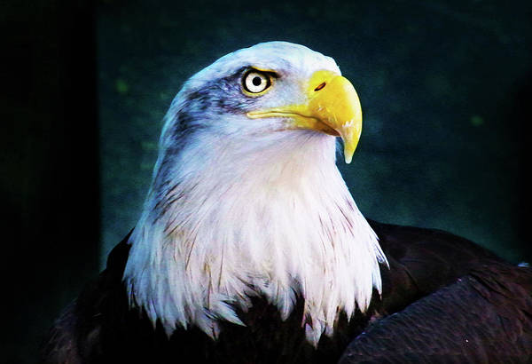 Photograph - Bald Eagle Close Up by Anthony Jones