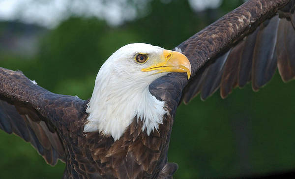 Photograph - Bald Eagle Close Up by Steve Somerville
