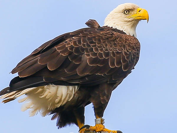 Photograph - Bald Eagle by Dart and Suze Humeston
