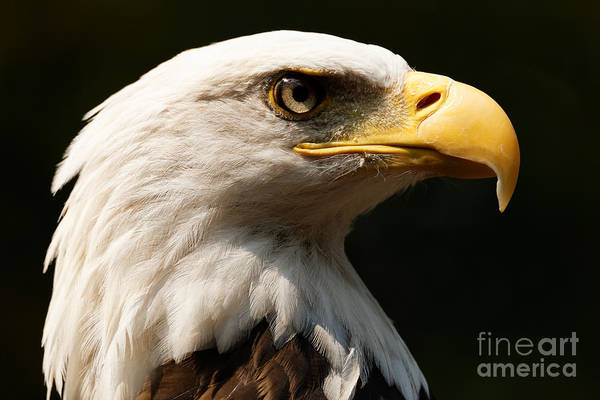 Bald Eagle Delight Art Print