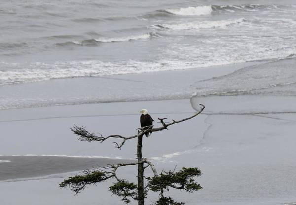 Photograph - Bald Eagle Enjoying The Coast  by Christy Pooschke
