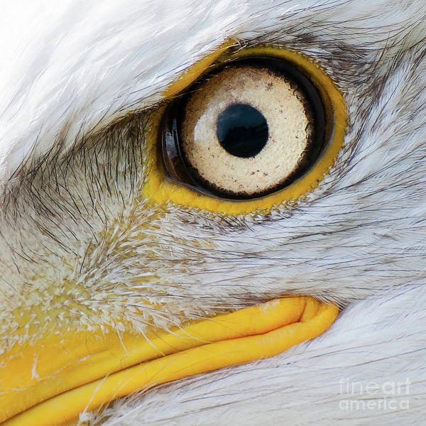 Photograph - Bald Eagle Eye by Eyeshine Photography
