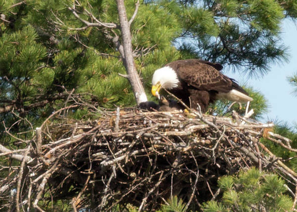 Photograph - Bald Eagle Feeding Baby by Brian Hale
