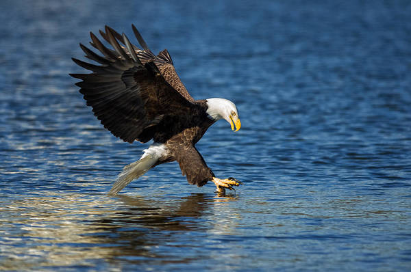 Unframed Wall Art - Photograph - Bald Eagle Fishing by Lori Coleman