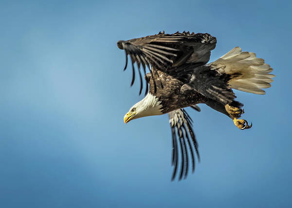 Wall Art - Photograph - Bald Eagle Flight 1 by Dawn Key