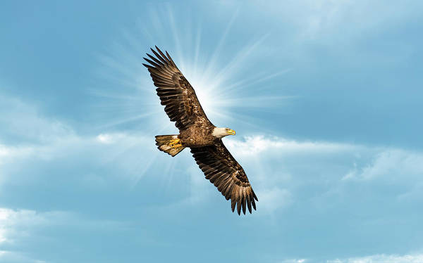 Photograph - Bald Eagle Flying In Blue Sky With Sun Over Wing by Patrick Wolf