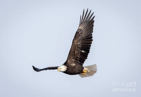 Photograph - Bald Eagle Flying Over Horicon Marsh by Ricky L Jones