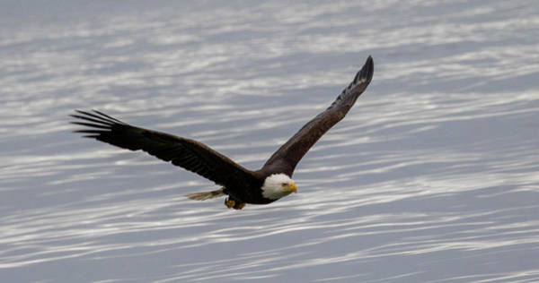 Photograph - Bald Eagle Flying Over Water by Gloria Anderson