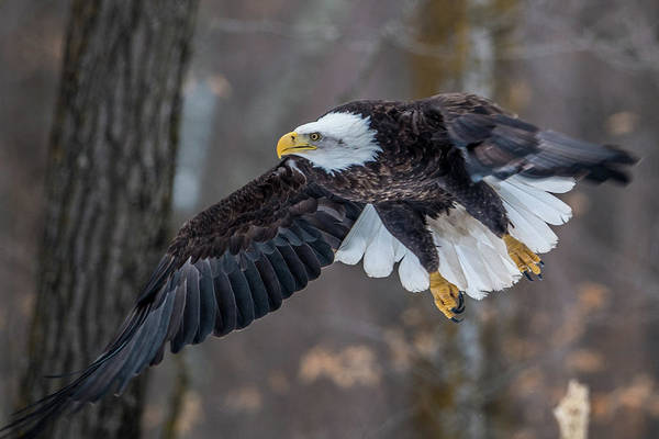 Wall Art - Photograph - Bald Eagle Flying Thru The Forest by Paul Freidlund