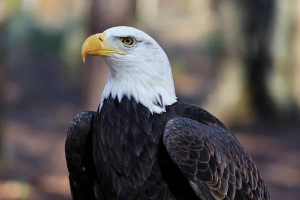 Photograph - Bald Eagle Head Shot by Jill Lang