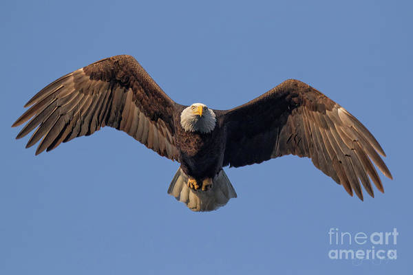 Photograph - Bald Eagle Hunt by Beth Sargent
