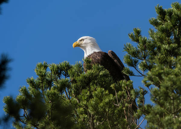 Photograph - Bald Eagle In A Pine Tree by Robert Potts