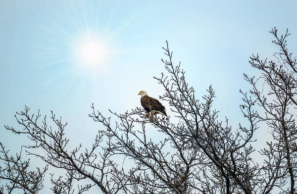 Photograph - Bald Eagle In A Tree Enjoying The Sunlight by Patrick Wolf