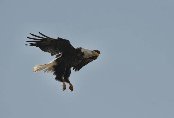 Photograph - Bald Eagle In Flight 022720162861 by WildBird Photographs