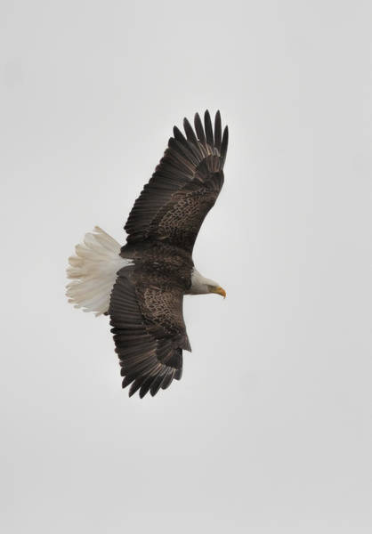Photograph - Bald Eagle In Flight 022720163586 by WildBird Photographs