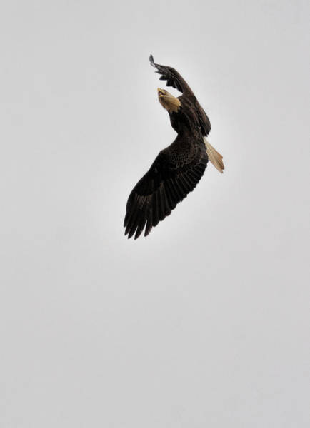 Photograph - Bald Eagle In Flight 022720163894 by WildBird Photographs