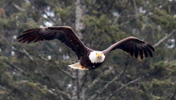 Photograph - Bald Eagle In Flight - 2 by Christy Pooschke