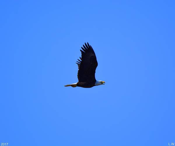Photograph - Bald Eagle In Flight 2 by Lisa Wooten