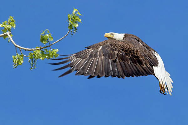 Wall Art - Photograph - Bald Eagle In Flight 4-25-17 by Dawn Key