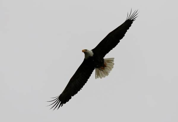 Photograph - Bald Eagle In Flight - 4 by Christy Pooschke