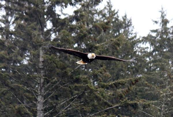 Photograph - Bald Eagle In Flight - 6 by Christy Pooschke