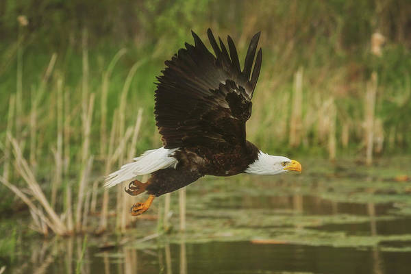 Wall Art - Photograph - Bald Eagle In Flight by Carrie Ann Grippo-Pike