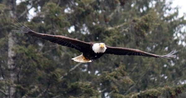 Photograph - Bald Eagle In Flight  by Christy Pooschke