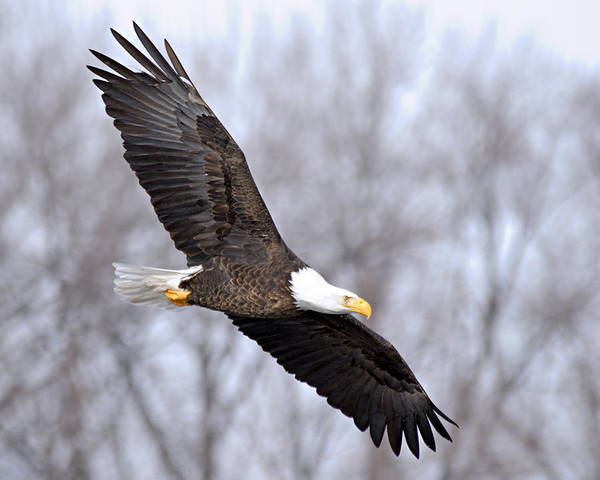 Photograph - Bald Eagle In Flight by Larry Ricker