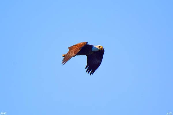 Photograph - Bald Eagle In Flight by Lisa Wooten