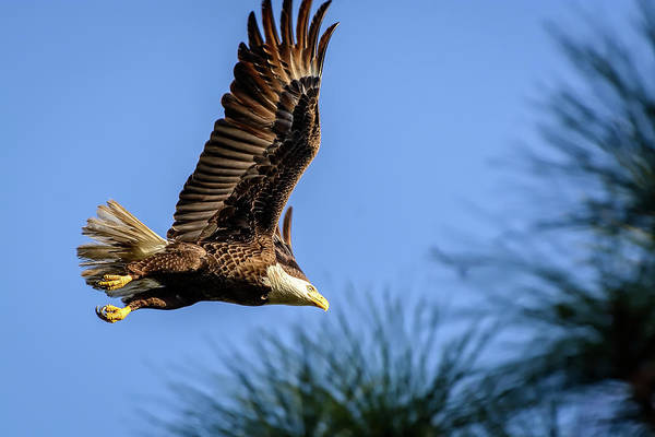Photograph - Bald Eagle In Flight by Robert Mitchell