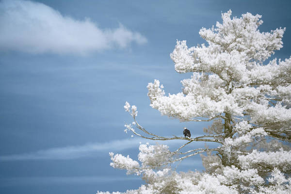 Photograph - Bald Eagle In Infrared by Brian Hale
