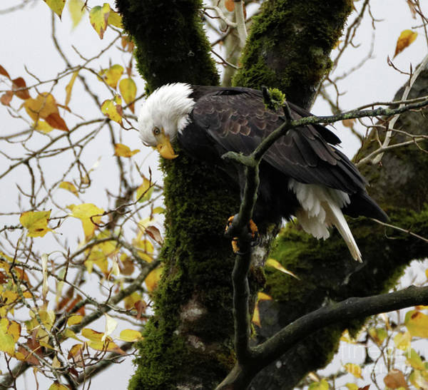 Photograph - Bald Eagle In The Fall by Sue Harper