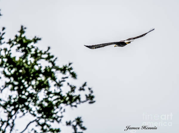 Photograph - Bald Eagle by James Hennis