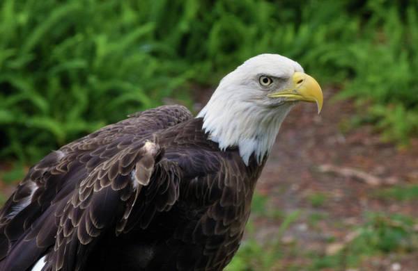 Photograph - Bald Eagle by Larah McElroy