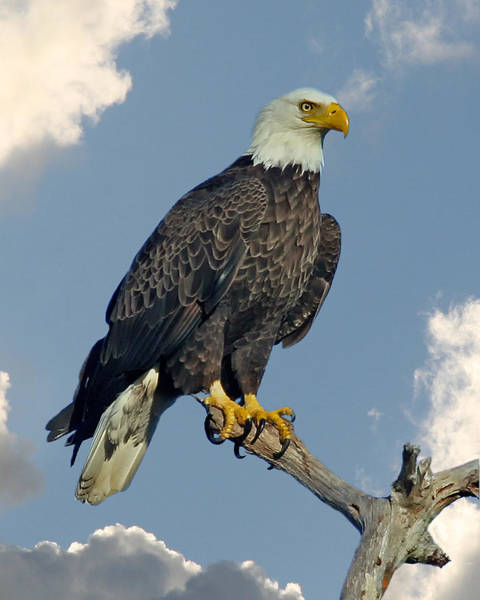 Raptor Photograph - Bald Eagle by Larry Linton