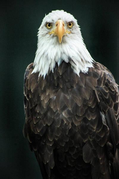 Photograph - Bald Eagle Look by Don Johnson