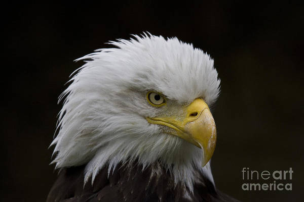 Faunal Photograph - Bald Eagle Looking For Food by Heiko Koehrer-Wagner