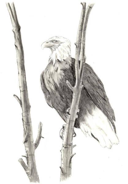 Drawing - Bald Eagle by Marsha Karle