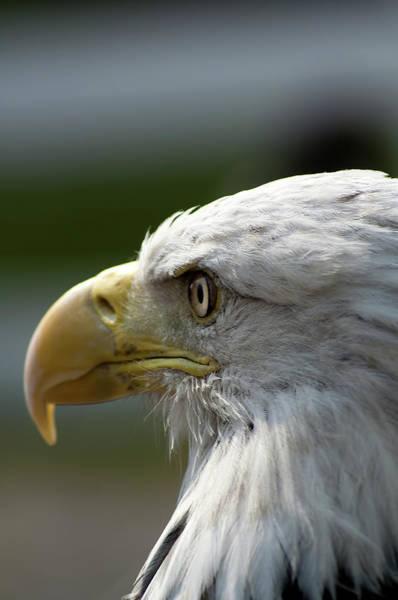 Nikon D5000 Photograph - Bald Eagle by Matt Steffen