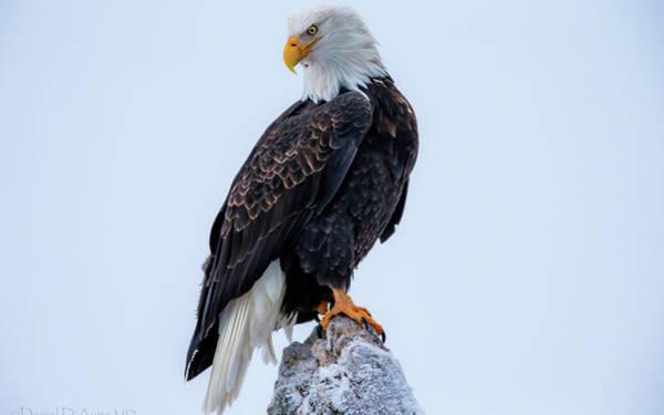 Digital Art - Bald Eagle by Maye Loeser