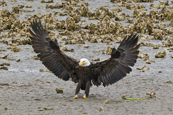 Photograph - Bald Eagle Nailing A Landing by Wes and Dotty Weber
