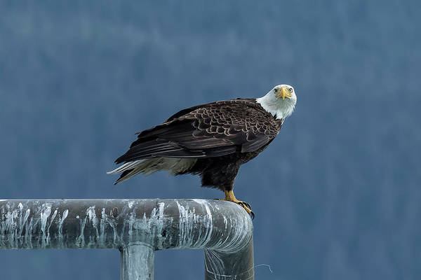 Photograph - Bald Eagle Of Resurrection Bay, No. 2 by Belinda Greb