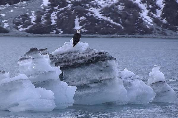 Photograph - Bald Eagle On A Bergy Bit by NaturesPix
