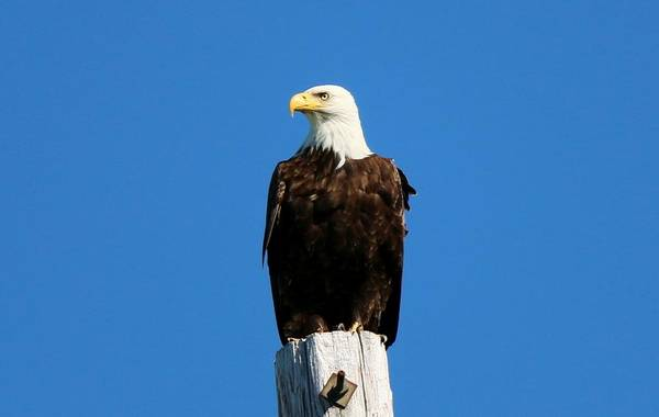 Photograph - Bald Eagle On A Power Pole - 3 by Christy Pooschke