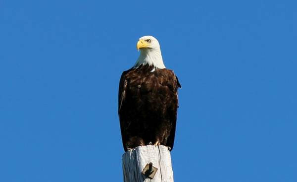 Photograph - Bald Eagle On A Power Pole - 4 by Christy Pooschke